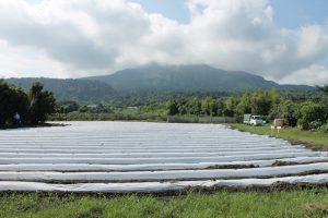 桜島のふもとに広がる桜島大根畑