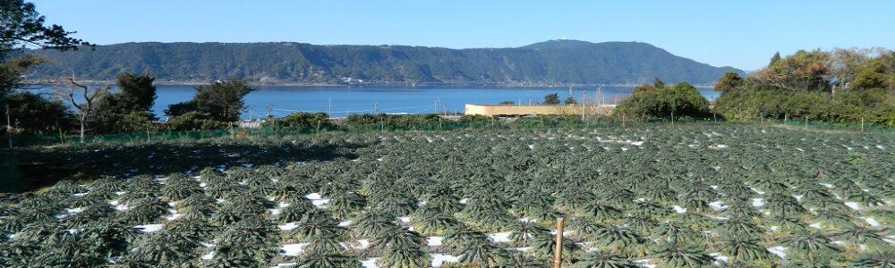 桜島大根と錦江湾